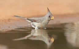 Kvinnlig Pyrrhuloxia som tar ett bad i sydliga Texas, USA Arkivfoton