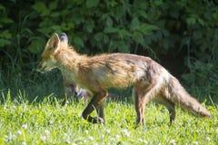 Kvinnlig röd räv i en äng arkivbilder