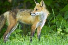 Kvinnlig röd räv i en äng royaltyfri foto
