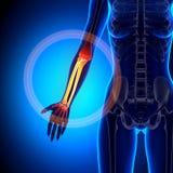 Kvinnlig radie/armbågsben - underarmen - anatomiben royaltyfri illustrationer