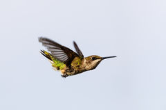 Kvinnlig Rubin-throated kolibri i en dyk som får mat royaltyfri bild