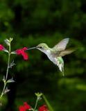 Kvinnlig Ruby-Throated Hummingbird Arkivbild