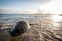 Kvinnlig simning för sköldpadda för grönt hav i havet Arkivbilder