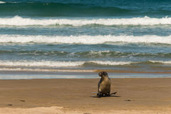 Kvinnlig sjölejon som hoppar över stranden Arkivfoton