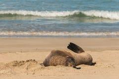 Kvinnlig sjölejon som vilar på stranden Arkivfoton
