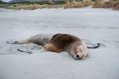 Kvinnlig sjölejon som sover på stranden i den Catlins fjärden, Nya Zeeland Royaltyfria Foton
