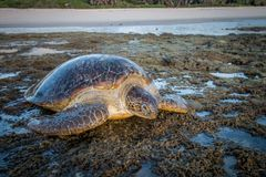 Kvinnlig sköldpadda för grönt hav på stranden Arkivfoto