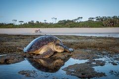 Kvinnlig sköldpadda för grönt hav på stranden Royaltyfri Fotografi