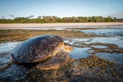 Kvinnlig sköldpadda för grönt hav på stranden Royaltyfria Bilder