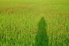 Kvinnlig skugga geen på risfältfältet i bygden med solljus och den tropiska skogen royaltyfria bilder