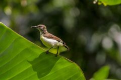 Kvinnlig solfågelLeptocoma zeylonica Arkivbilder