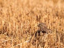 kvinnlig som jagar den små owlen Arkivbilder