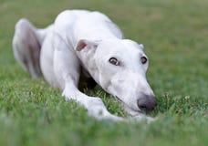 Kvinnlig spansk Galgo hund Royaltyfri Fotografi