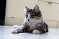 Kvinnlig strimmig kattkattunge fotografering för bildbyråer