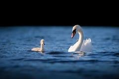 Kvinnlig stum svan med unga svanen på blått vatten Arkivfoton