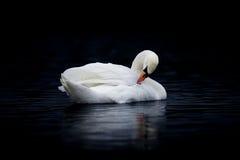 Kvinnlig stum svan som putsar på mörkt vatten royaltyfri foto