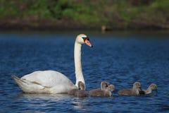 Kvinnlig svan och sju fågelungar Royaltyfri Bild