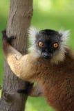 Kvinnlig svart lemur Arkivbild