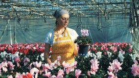 Kvinnlig trädgårdsmästarekontrollcyklamen i kruka, medan arbeta i en burk arkivfilmer