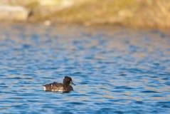 Kvinnlig Tufted and på en sjö Royaltyfri Bild