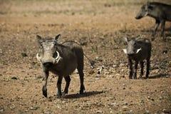 Kvinnlig vårtsvin med spädgrisar Royaltyfri Fotografi