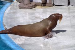Kvinnlig valross på kapaciteten i havscirkusen Royaltyfri Fotografi