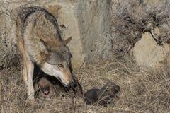 Kvinnlig varg och valper på hålaplatsen Arkivbilder