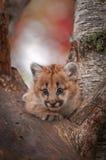 Kvinnlig varning för pumaKitten Puma concolor i träd Arkivfoto