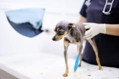 Kvinnlig veterinär- doktor med hunden som ser röntgenstrålen under undersökningen i veterinär- klinik Royaltyfria Foton