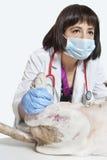 Kvinnlig veterinär- undersökande hund över grå bakgrund Royaltyfri Fotografi