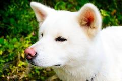 Kvinnlig vit hund akita japan akita inu Fotografering för Bildbyråer