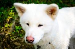 Kvinnlig vit hund akita japan akita inu Royaltyfri Fotografi