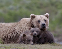 Kvinnlig vuxen grisslybjörn med gröngölingar arkivfoto