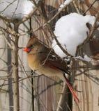 Kvinnlig vuxen kardinal i vinter Arkivfoton