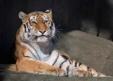 Kvinnlig vuxen människaAmur tiger Royaltyfria Foton
