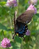 Kvinnliga östliga Tiger Swallowtail i flykten Arkivbilder