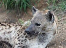 Kvinnliga afrikanska hyenor Den prickiga hyenan i Kruger parkerar Arkivfoto