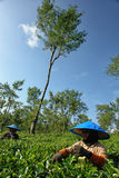 Kvinnliga bönder för par som skördar teblad Royaltyfria Bilder
