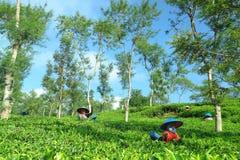Kvinnliga bönder som skördar på teskördlandskapet Royaltyfri Foto