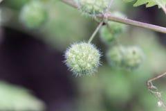 Kvinnliga blommor av en Urticapilulifera för roman nässla arkivbilder