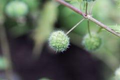 Kvinnliga blommor av en Urticapilulifera för roman nässla royaltyfri fotografi