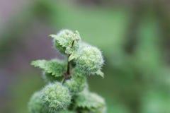 Kvinnliga blommor av en Urticapilulifera för roman nässla royaltyfria foton