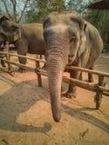 Kvinnliga elefanter ser vänliga royaltyfria foton