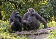 Kvinnliga gorillor för västra lågland med behandla som ett barn, Dallas Zoo Arkivbilder