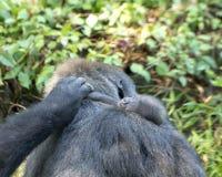 Kvinnliga gorillor för västra lågland med behandla som ett barn, Dallas Zoo Arkivbild