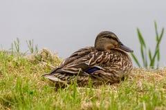Kvinnliga gräsandAnasplatyrhynchos som vilar bredvid en sjö royaltyfria bilder