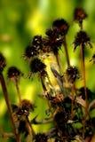 Kvinnliga guld- Finch Among The Thistle Royaltyfri Bild