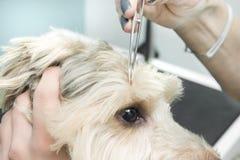 Kvinnliga händer drar en fästing för hund` s med medicinsk plattång royaltyfri foto