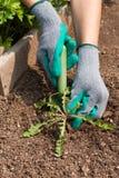 Kvinnliga händer drar ut ogräs från det jordträdgårds- hjälpmedlet i trädgård royaltyfri foto