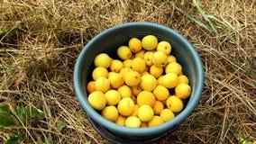 Kvinnliga händer häller mogna aprikors från en hink Ultrarapid 4k stock video